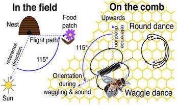 honeybee-dance